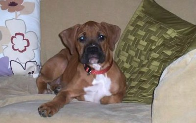 Saying Goodbye to Our Boxer, Lola